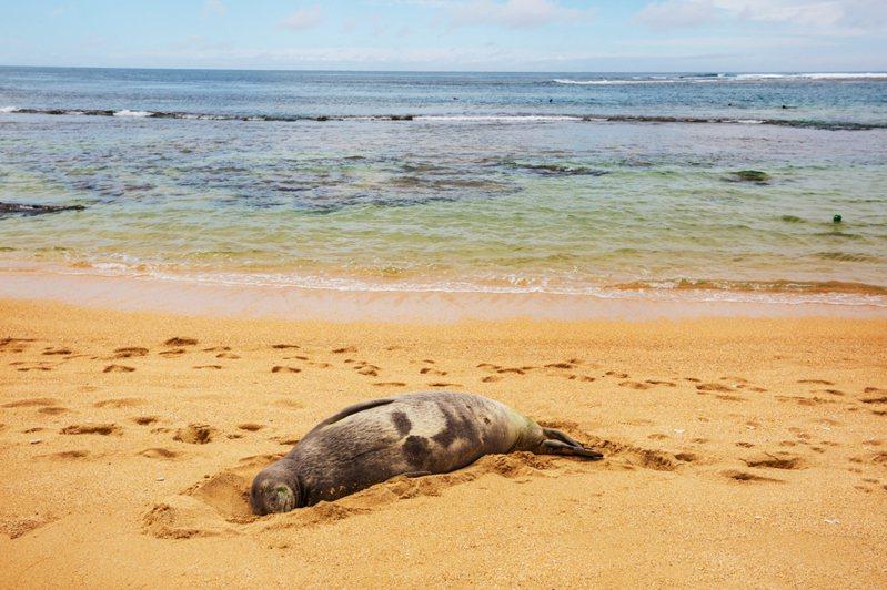 非洲南部國家納米比亞一個保育組織本月5日於華維斯灣鵜鶘角以無人機拍攝期間,發現岸邊佈滿逾5000具南非毛皮海豹寶寶的屍體。圖/ingimage