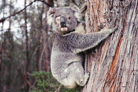 澳洲正展開一系列的野生無尾熊保衛大作戰。像是因疾病而獨眼、日前康復被野放的無尾熊...