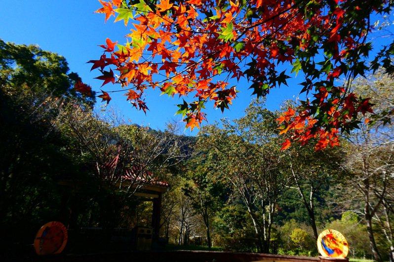 奧萬大國家森林公園內綠葉開始變妝轉色,預估11月中旬至12月底是最佳賞楓期。圖/南投林管處提供