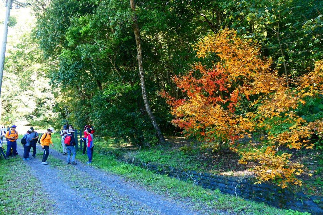 奧萬大國家森林公園內綠葉開始變妝轉色,預估11月中旬至12月底是最佳賞楓期。圖/...