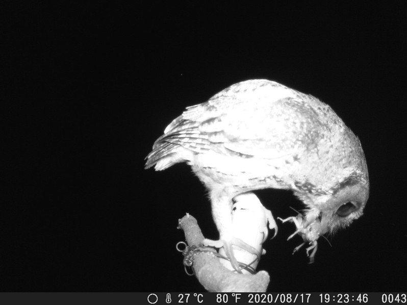 從自動相機的監測發現,夜晚領角鴞透過棲架捕食台灣大蟋蟀。圖/水保局台中分局提供
