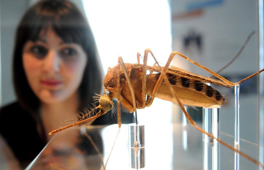 不同於將蚊子趕盡殺絕的路線,歐尼爾團隊在實驗室建立經沃爾巴克氏體感染的埃及斑蚊大...