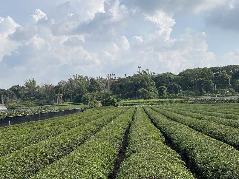 南投縣名間鄉八卦山台地是國內最大茶葉產區,是國內手搖茶飲主要產地。記者江良誠/攝影