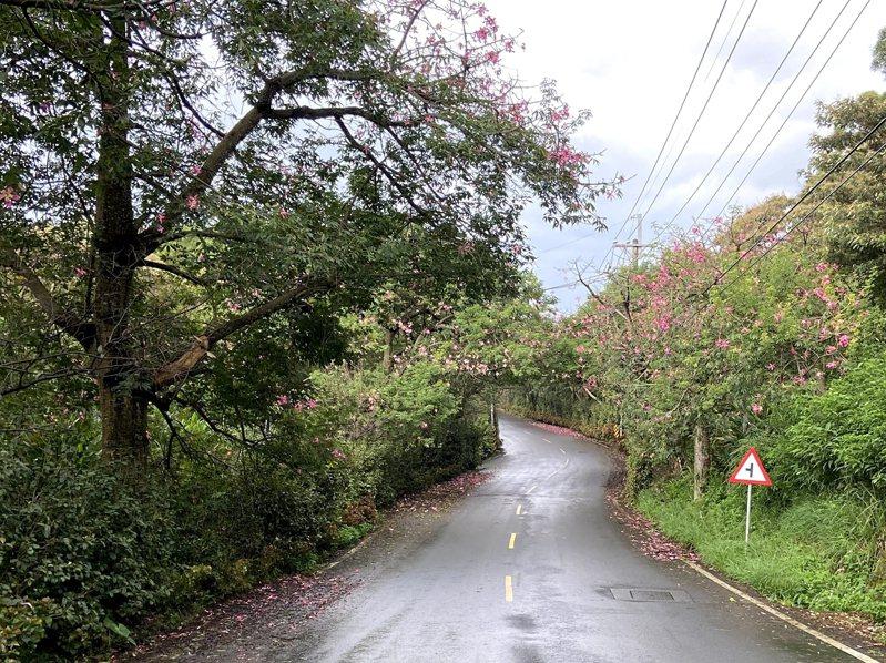 淡水北八線山路上的美人樹綻放出紅色花朵,花期也要進入尾聲想賞花的民眾可要把握機會。 圖/紅樹林有線電視提供