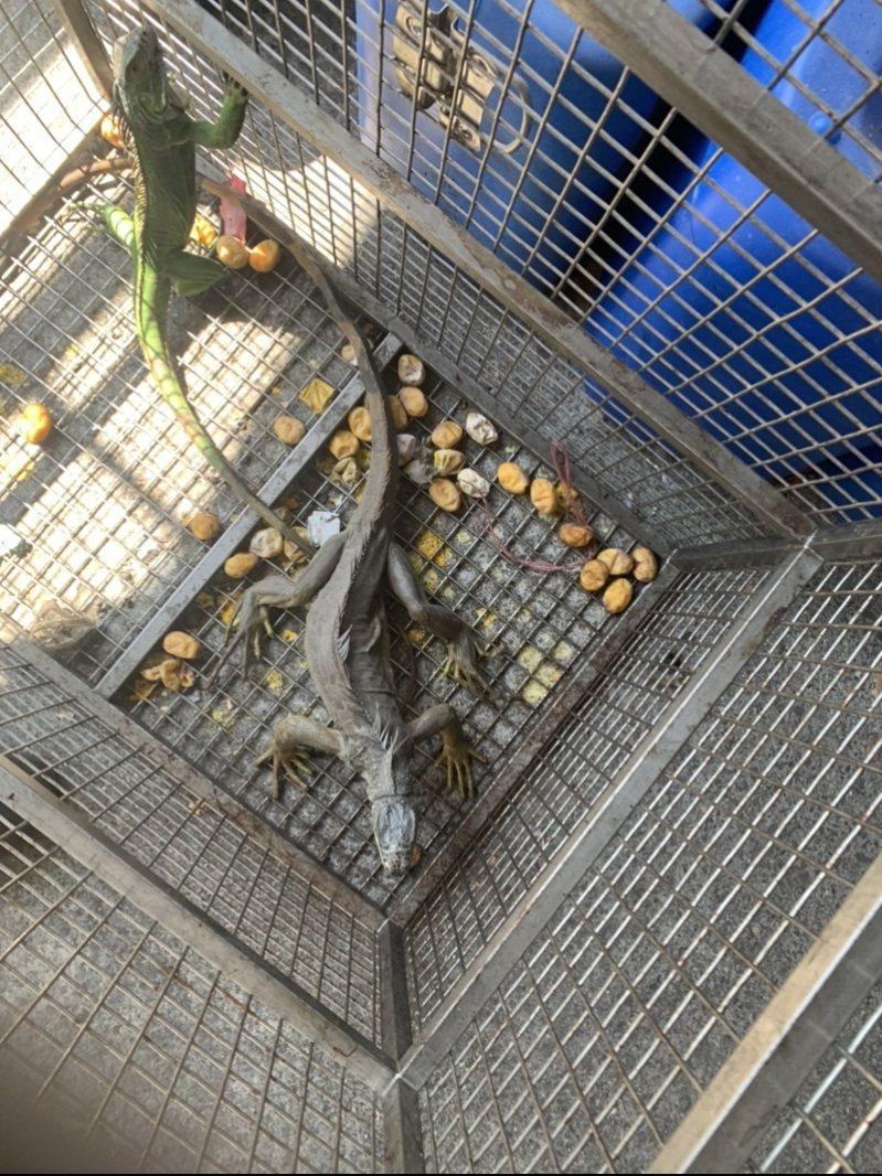 屏東縣的綠鬣蜥去年抓4182隻,今年截至9月底就抓了5480隻。圖/屏東縣政府提供