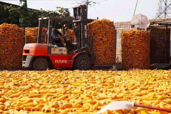 美方今天公布美中第一階段貿易協議報告指出,中國對美方農產品採購超過230億美元,約是協議目標71%。圖為美國玉米。路透