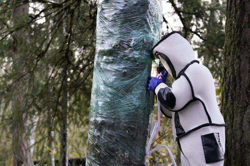 美國一群昆蟲學家今天穿戴全身防護裝備,清除華盛頓州一棵樹上的大虎頭蜂(Asian giant hornet)蜂窩。圖/美聯社