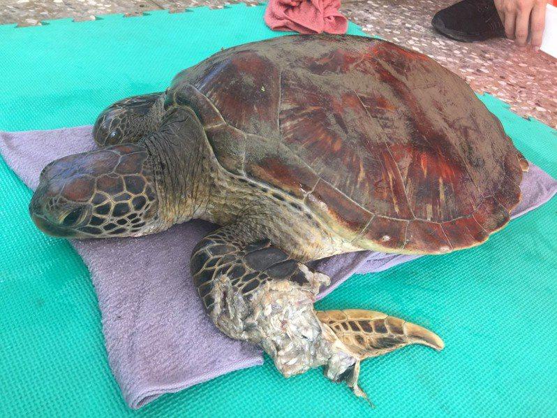 海委會海洋保育署海保救援網MARN在高雄市永安液化天然氣廠的海水渠道,發現一隻左前肢受傷的活體綠蠵龜,後送到國立海洋生物博物館救治。圖/海保署提供