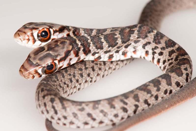 美國佛羅里達州一名寵物貓飼主赫見愛貓送上「雙頭蛇」作為禮物,他更親眼見到雙頭蛇為「吃不吃飯」而起口角,令他感到相當驚奇。圖擷自@FWCResearch
