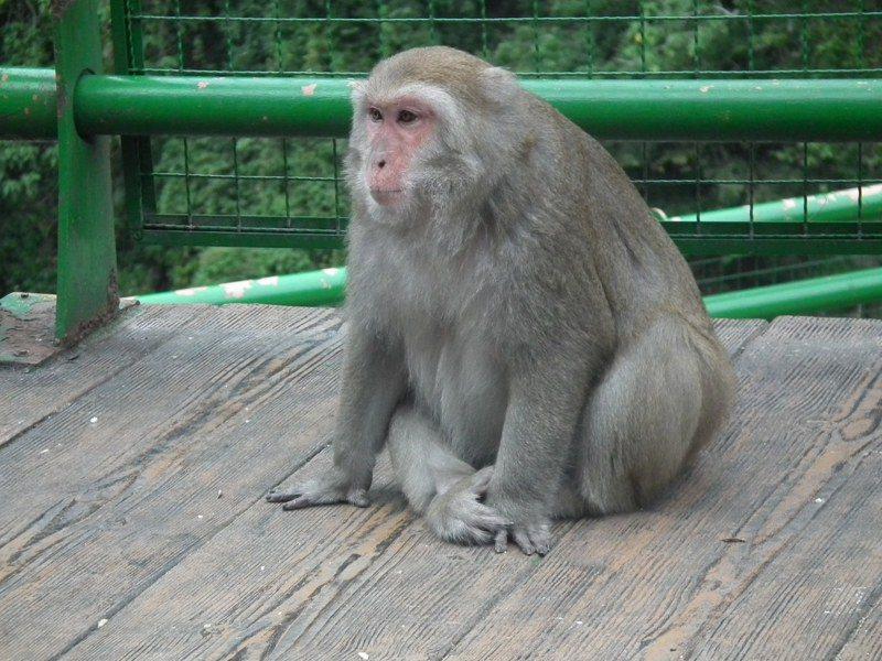台東東河鄉賞猴景點登仙橋,因遊客持續餵食獼猴,使得獼猴體態「發福」。記者尤聰光/攝影