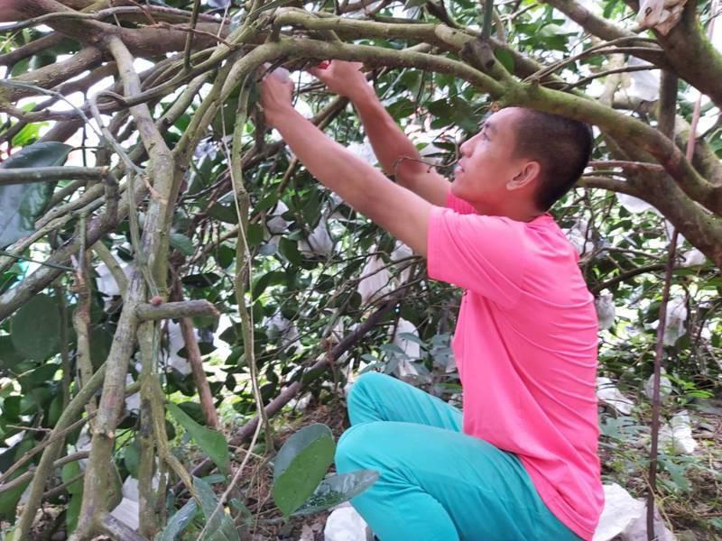 花蓮玉里高中棒球隊協助蕭姓老農採收蜜柚,雖然不比練球輕鬆,卻感到施比受更有福。圖/玉里高中提供
