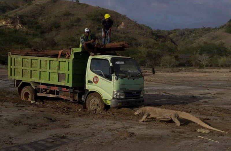 致力保護科莫多龍的Save Komodo Now上推特分享照片,顯示一隻科莫多龍狀似阻擋卡車前進,引發熱議。畫面翻攝:Twitter/KawanBaikKomodo