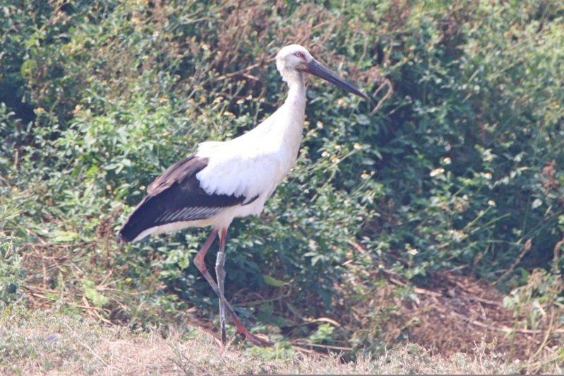鳥友陳俊廷在高雄永安溼地,拍攝到列為瀕臨絕種保育類的「東方白鸛」。圖/高雄市工務局提供陳俊廷拍攝