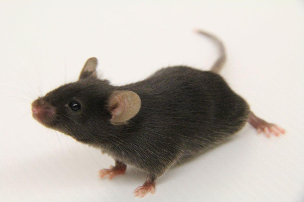 國家動物中心養出神農鼠,為人類辨識藥物或食物的腎毒性。圖/國家動物中心提供