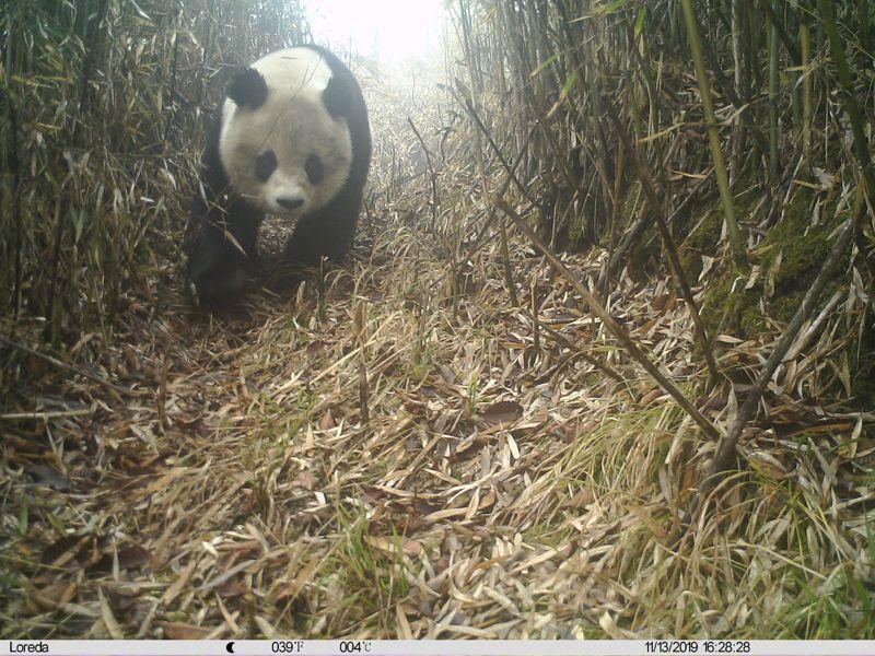 德陽綿竹市的大熊貓國家公園清平入口社區已開放。圖為綿竹九頂山自然保護區,去年首次拍攝到野生大熊貓活動正面影像。圖/本報四川德陽傳真