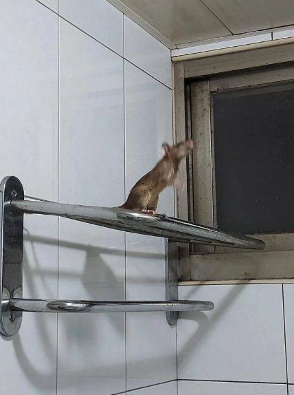 某天半夜,原PO聽見廁所傳來聲響,她查看發現「有老鼠在毛巾架上跟我對望」,一人一鼠都被對方嚇到。 圖片來源/DCard