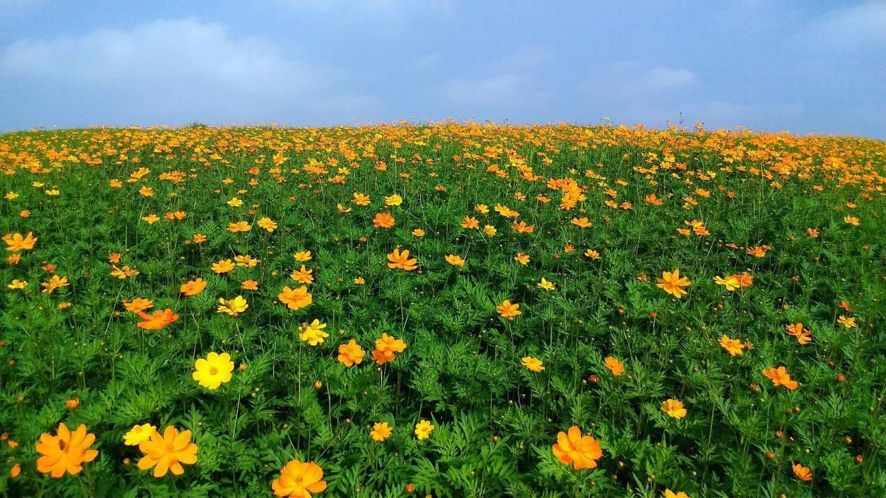 關渡花海依節令種植各式繽紛花卉。圖為2017年花況。 圖/莊琇閔 攝影