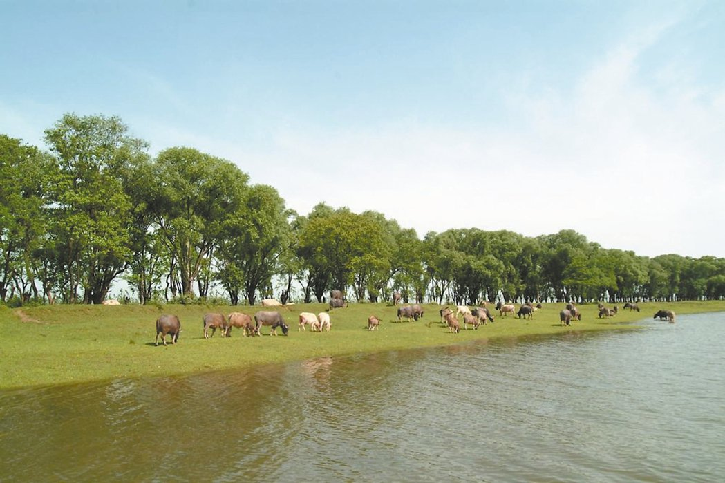 洞庭湖風光,牛群閒適地吃青草。 圖/本報湖南益陽傳真