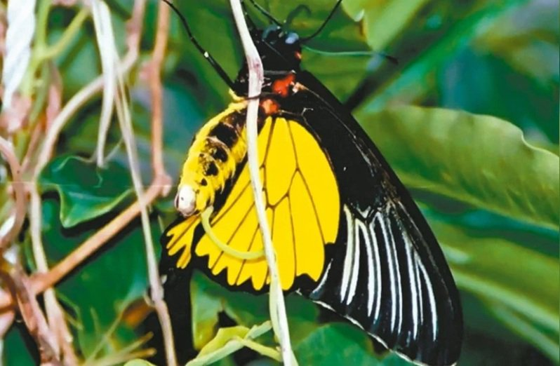 國立台東大學教育系李偉俊教授表示,阿妹右臉上的蝴蝶外型和台東蘭嶼特有種的世界級(華盛頓公約)一級保育類昆蟲珠光鳳蝶極度相似。本報資料照片