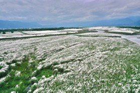 甜根子草盛開成夢幻雪景 秋冬來宜蘭看變色的蘭陽溪