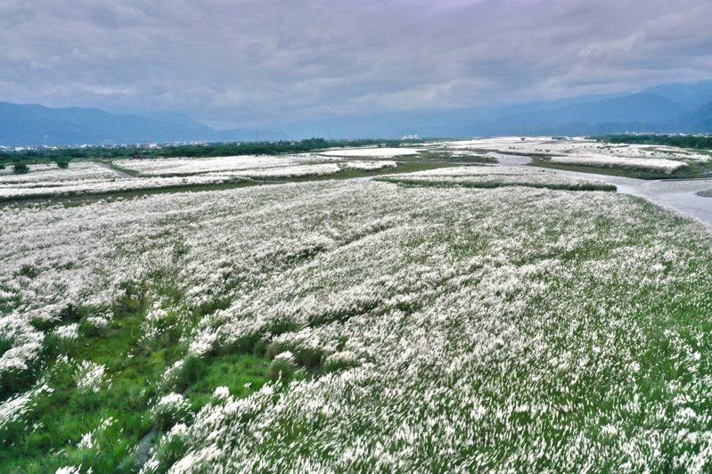 蘭陽溪床種植的甜根子草等固沙植物,最近盛開後,將溪床妝點成銀白色世界。圖/蘭陽博物館館長陳碧琳提供