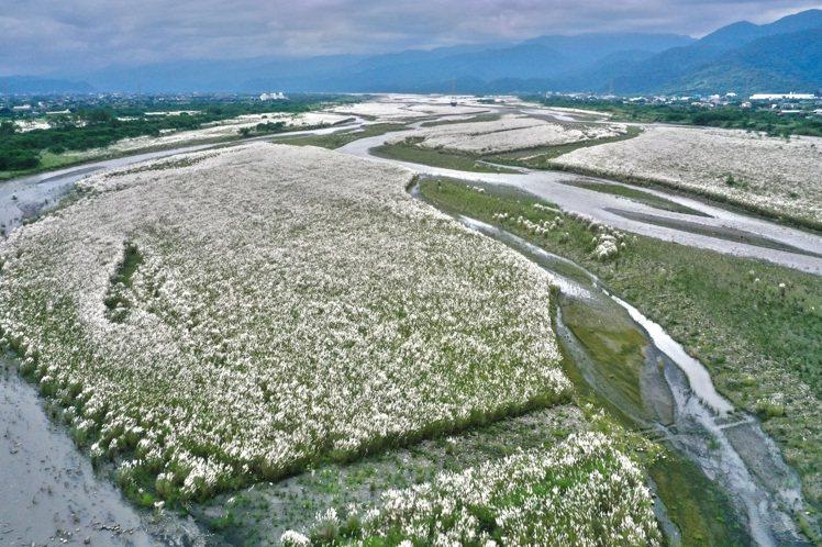 蘭陽溪床種植的甜根子草等固沙植物,最近盛開後,將溪床妝點成銀白色世界。圖/蘭陽博...