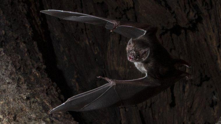 新研究發現,野生的吸血蝙蝠要是察覺自己生病,會本能地與同類保持距離。Behavi...