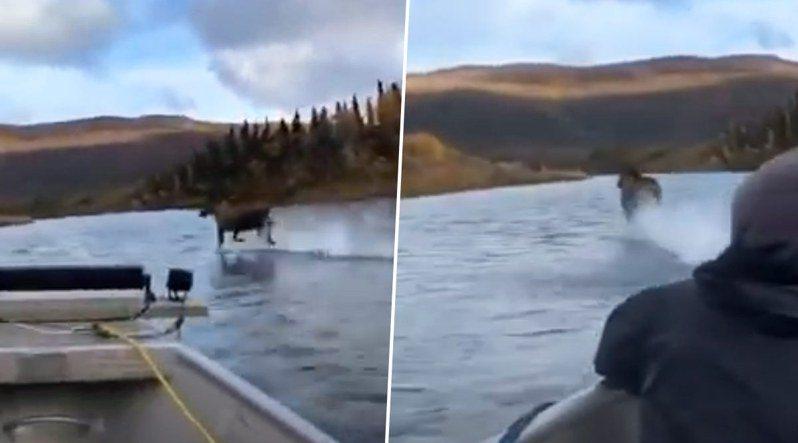 美國阿拉斯加州居民日前駕船行經一條河流,途中驚見一隻麋鹿在水面上疾奔。路透/Caters News Agency