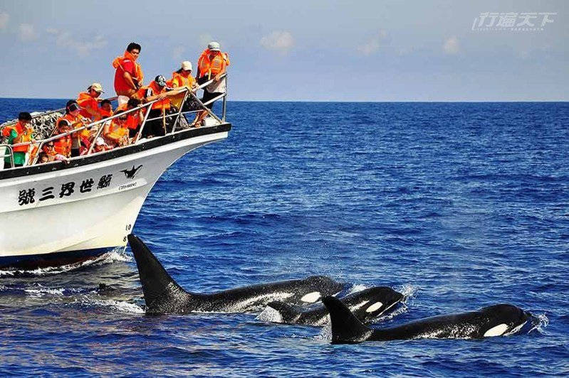 台灣海域還出現過俗稱殺人鯨的虎鯨,讓賞鯨遊客驚呼不已。(圖片提供:鯨世界賞鯨)