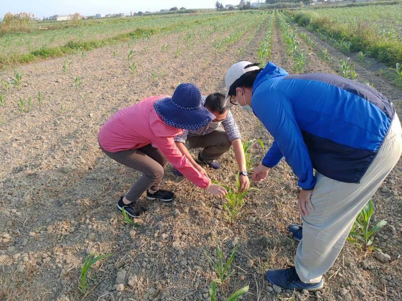 台南鹽水及學甲區硬質玉米及青割玉米乾旱發芽率不佳,台南農業局爭取全市現金救助。圖/農業局提供