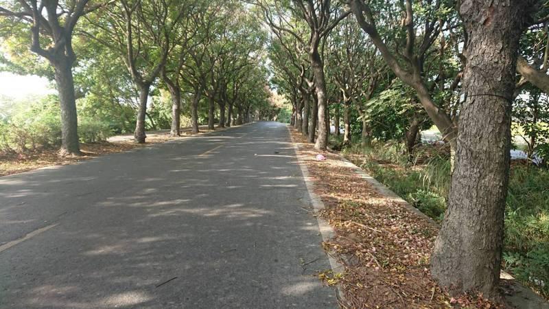 彰化縣東螺溪台灣欒樹隧道的樹木間隔3至4公尺,如果樹木生病被移除,就出現缺口。記者簡慧珍/攝影