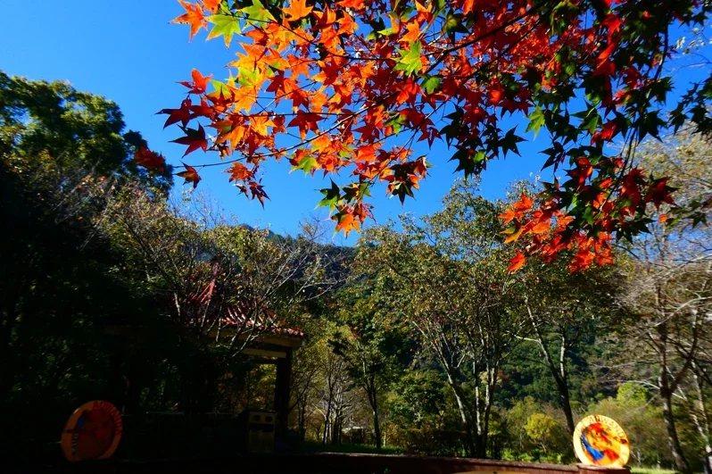 奧萬大國家森林公園內綠葉開始變妝轉色,預估11月中旬至12月底是最佳賞楓期。 ...