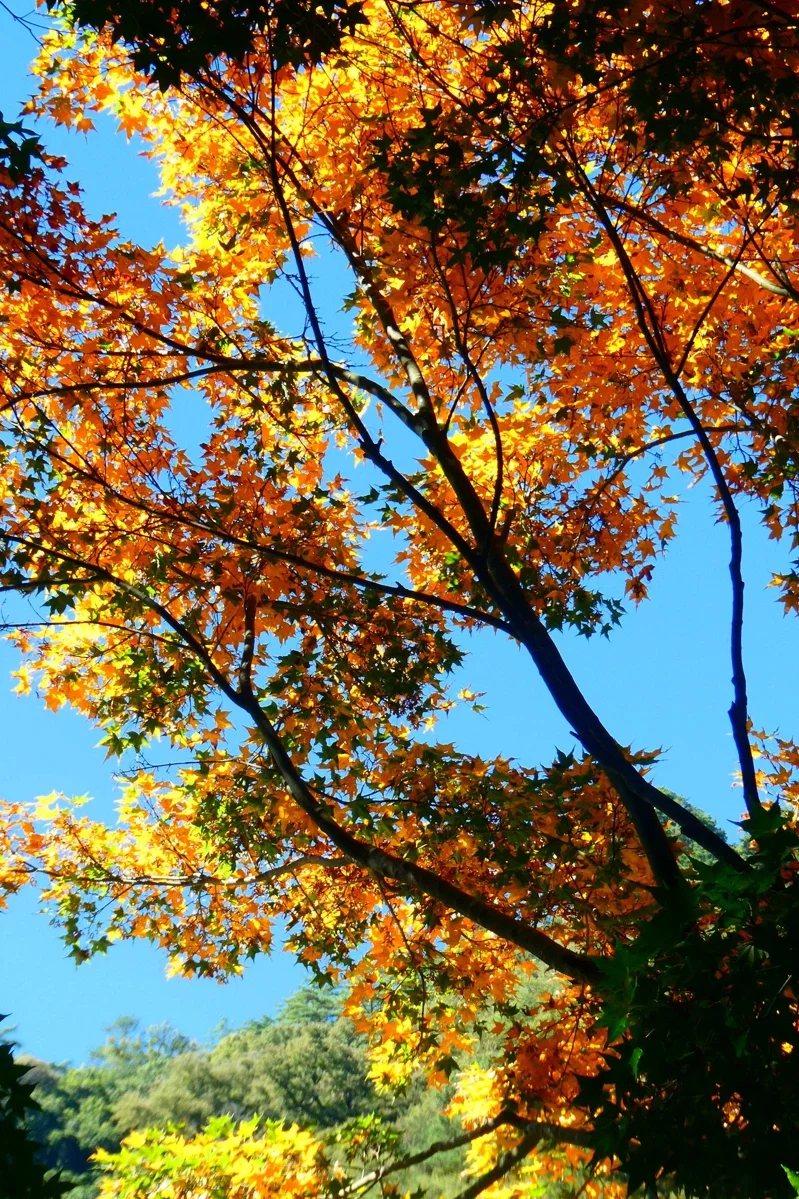 奧萬大國家森林公園內綠葉開始變妝轉色,預估11月中旬至12月底是最佳賞楓期。 圖...