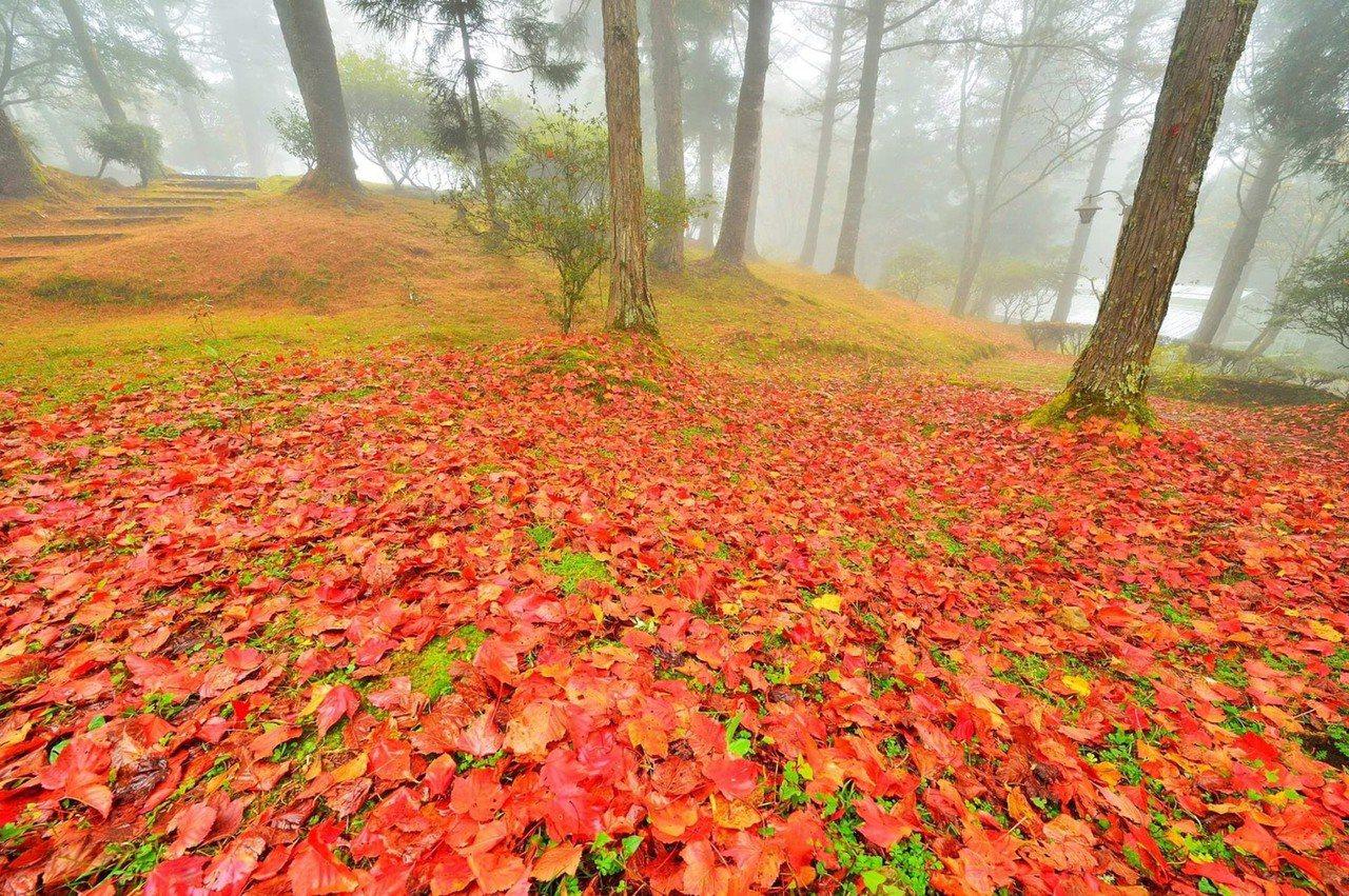 每年12月至元旦期間是阿里山森林遊樂區內賞楓最佳時機。  圖/報系資料照片、黃...