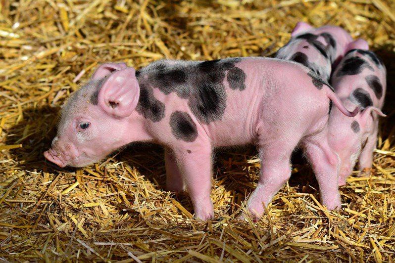 「台灣豬證明標章」2日起開放具商業登記或稅籍登記全數使用國產豬肉的業者上網申請標章。 圖/PIXABAY