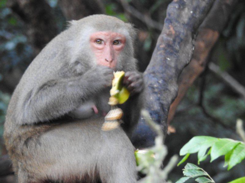 根據特有生物保育中心多年調查,全台猴群無顯著增減,人猴衝突頻傳,歸咎於愛餵食的人類。圖/讀者提供