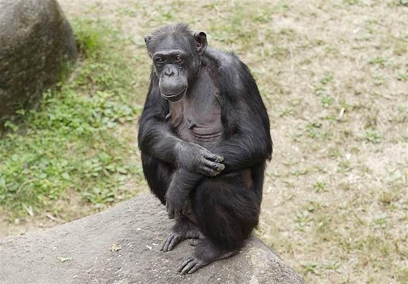 北市動物園最年長黑猩猩「阿美」過世,享年51歲。圖/台北市立動物園提供