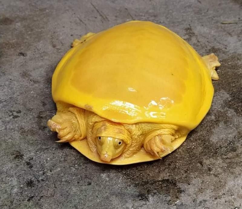 尼泊爾村莊上周發現一隻外貌奇特的金黃色烏龜。圖/取自Debashish Sharma