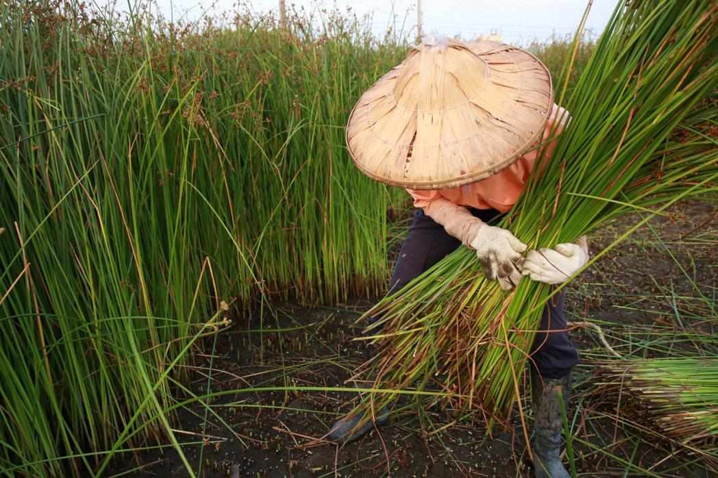 藺子近年親自種植無毒藺草,維持一年二收以維護土壤及苗種健康。 圖/藺子提供