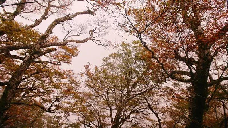 太平山的山毛櫸入秋葉轉黃,目前葉黃率7成,進入最佳觀賞期,吸引遊客夜衝上山賞美景...