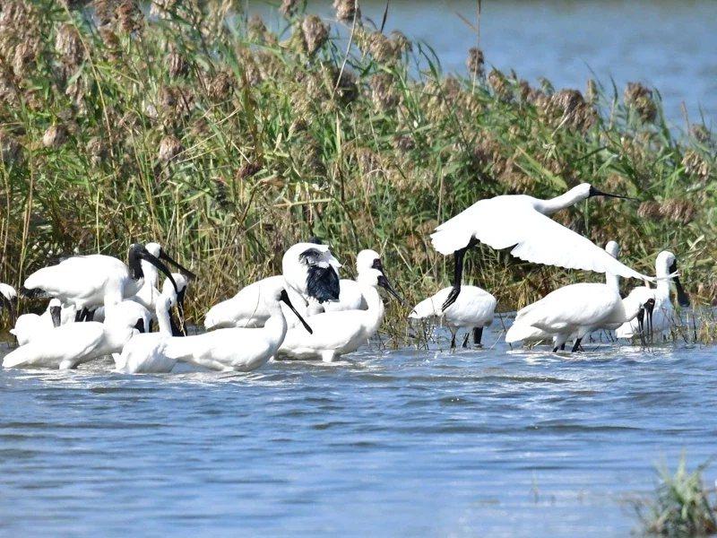 國際保育鳥類黑面琵鷺又來到台灣展開半年的度冬生活,在台南沿海一帶覓食。 圖/台南...