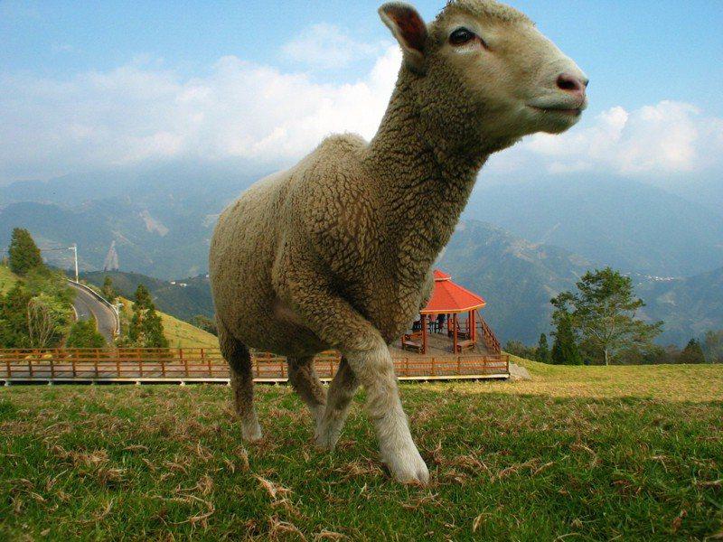 退輔會副主委呂嘉凱今天表示,清境農場預計今天宣布休園,將於明日起停止營業到本月底。圖為清境農場羊兒。圖/報系資料照
