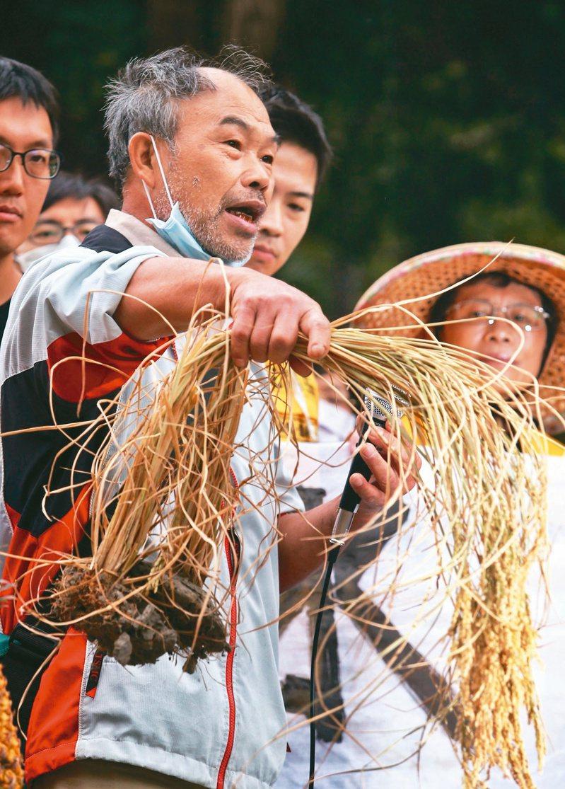 竹北璞玉農民田守喜多次種出得獎稻米,他拿起稻穗控訴政府總是犧牲農民。記者曾原信/攝影