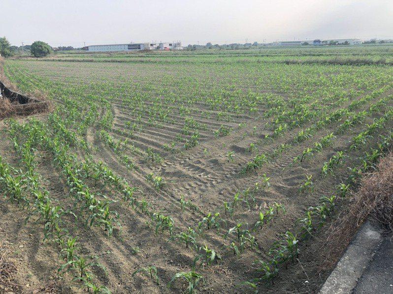今年至今無颱風登陸,久旱不雨,嘉義縣部分硬質玉米(飼料玉米)、青割玉米(牧草)無法發芽枯死,受災嚴重。圖/縣府提供