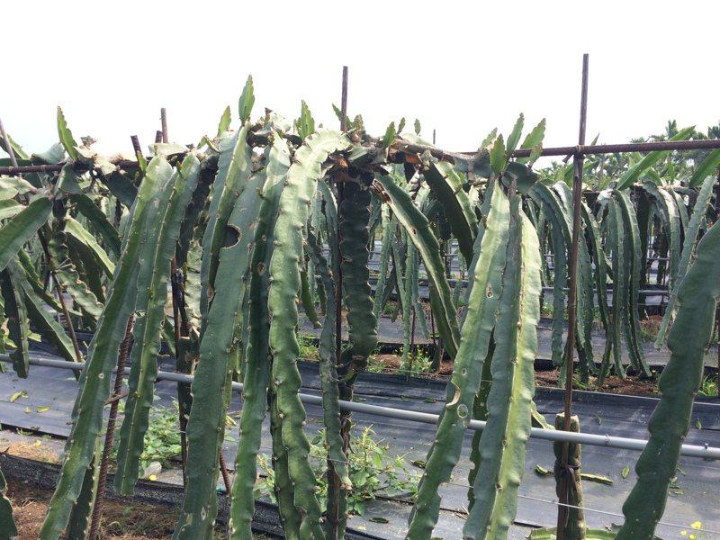 紅龍果果園若已完成修剪,雨後應噴施殺菌劑,避免枝條感染。圖/高雄區農改場提供