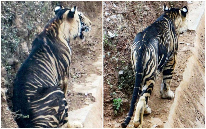 一名熱愛動物的攝影師近日在印度奧里薩邦東部地區,幸運地拍到一隻極為罕見的「黑色老虎」,專家表示這種老虎在世上僅存不到10隻。Soumen Bajpayee