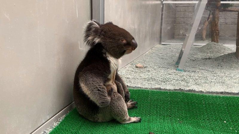 日本淡路島一處觀光農場內,最近有一隻無尾熊引發網友討論,原因是坐姿像極了日本各大車站常見的「錯過末班車的酒醉大叔」,這個豪邁大叔坐姿也拯救了農場觀光人氣。圖/截自YouTube影片