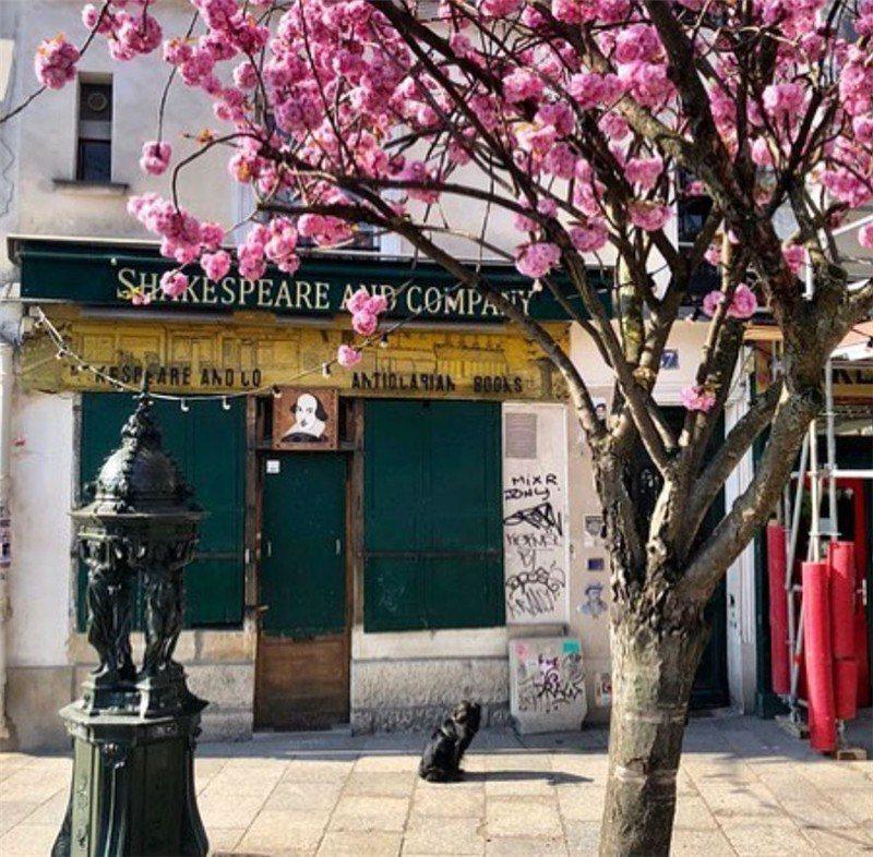 莎士比亞書店前的櫻花  是春天巴黎的招牌之一 / 來源: shakespearandcoparis