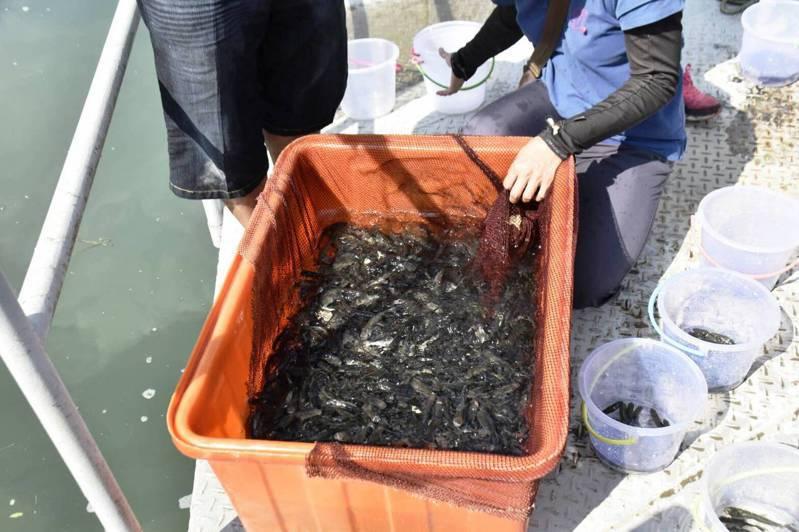 台電公司近來在明潭下池水庫放流1萬1000尾的烏鰡、草魚、大頭鰱等魚苗,透過食物鏈抑制及清除淡水貽貝。圖/明潭發電廠提供