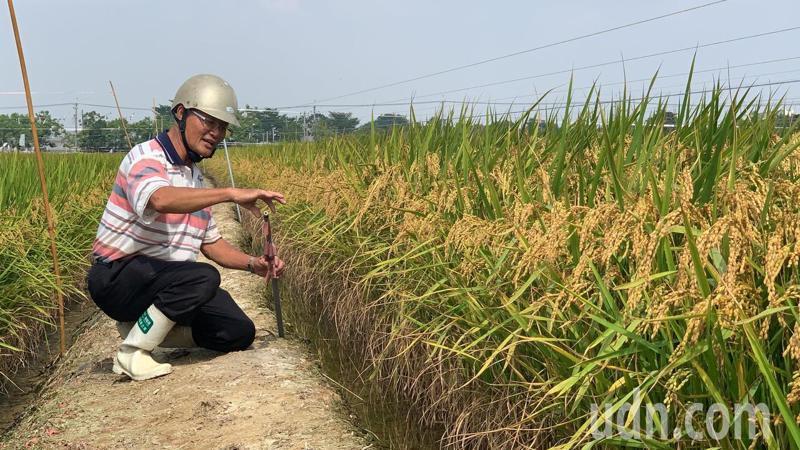 台南二期稻作大部分還要再10至15天才能進入採收期,農民目前忙著趕鳥。記者吳淑玲/攝影